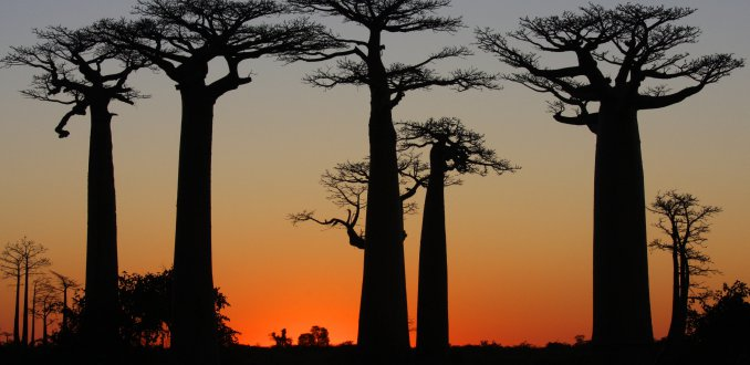 Baobabs in the sun