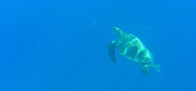 Schildpadden spotten bij Balicasag island