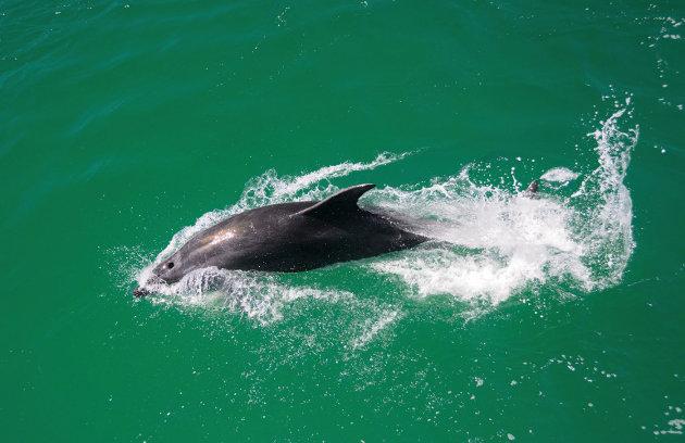 Dolfijnen in de Bay of Islands