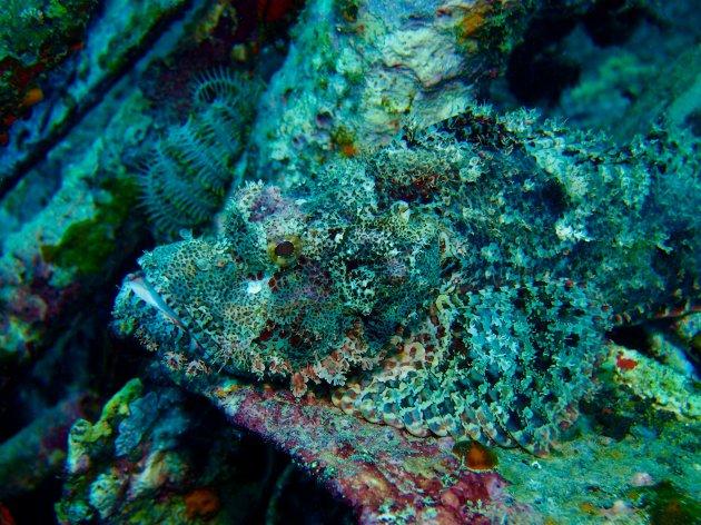 Stonefish ready to strike