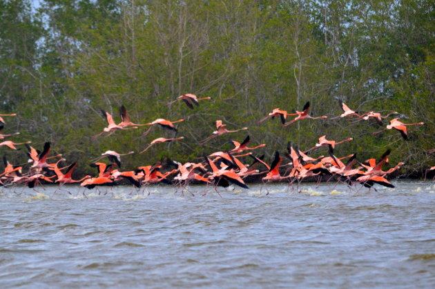 vliegende ibissen