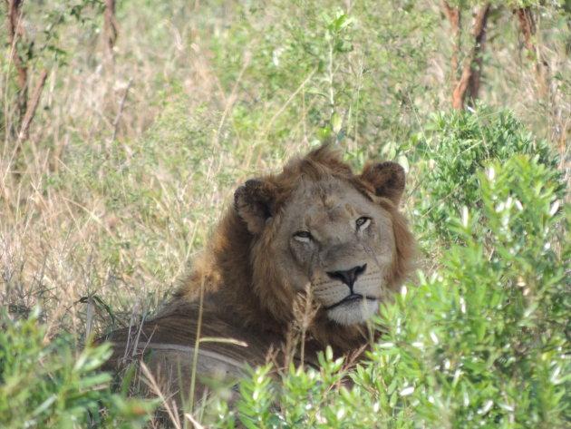 Letterlijk oog in oog met de koning van de jungle!