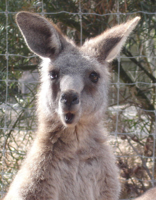 Hi Kangaroo
