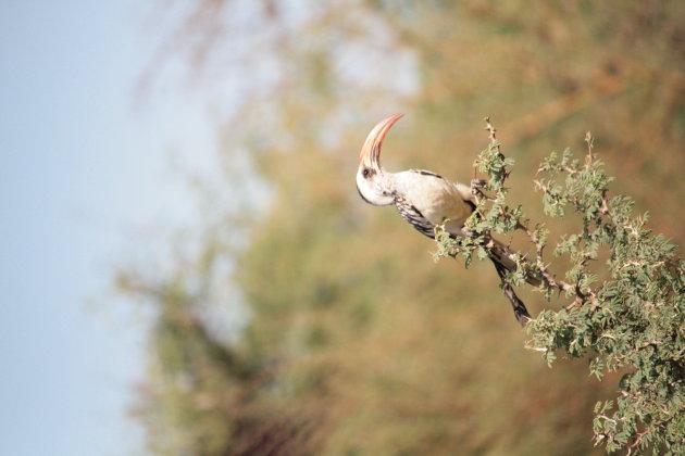 Zazu opzoeken in Senegal