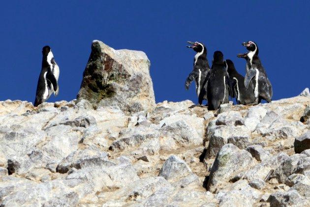 Humboldt pinguïn