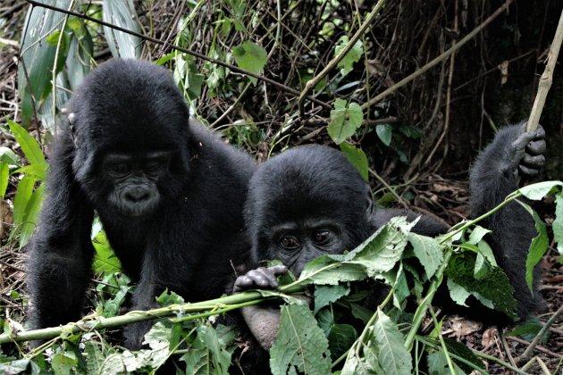 in Bwindi Forest gorilla's spotten