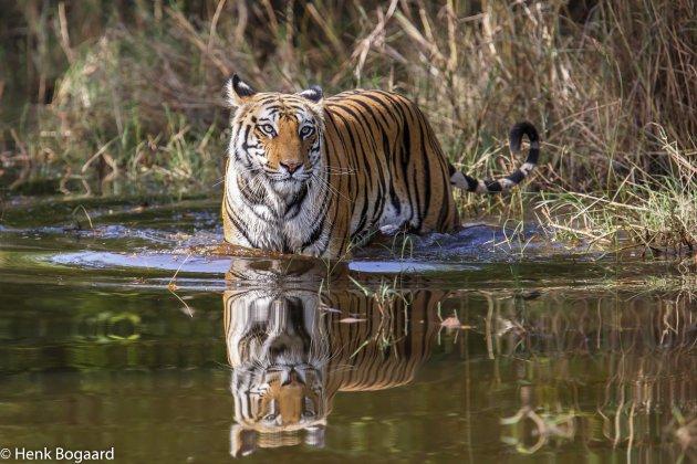 Tijger in het water in Bandhavgarh National Park