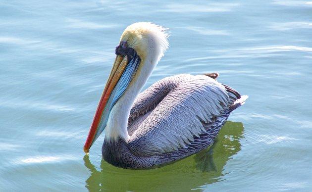 Peruaanse pelikaan