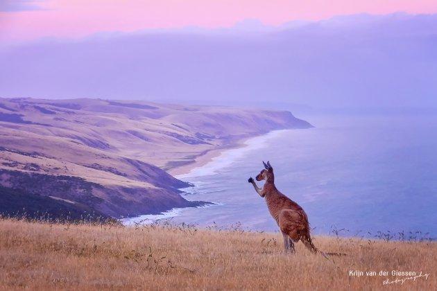 Kangoeroes spotten in Deep Creek Conservation Park