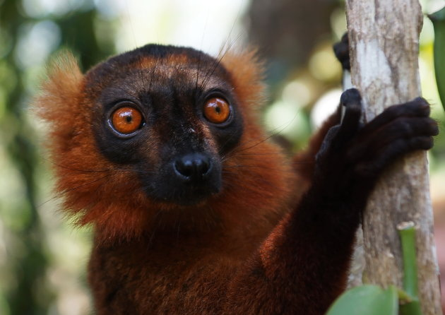 Hybride Lemur