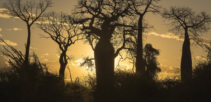 Baobabs in avondzon