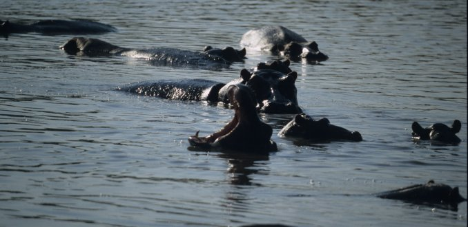 Hippo's in the Luwi River