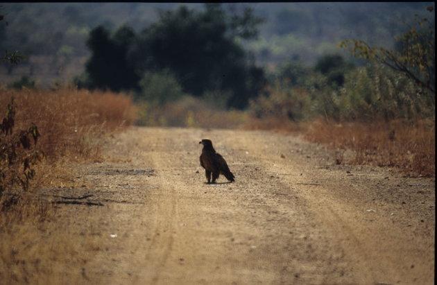 Tawny Eagle at Kafue Nat. park