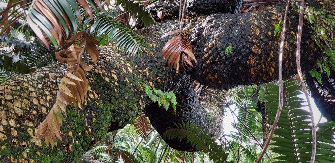 Modjadji Cycad Reserve