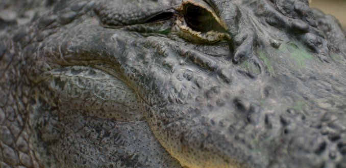 Bi-zar! Enorme alligator springt in toeristenboot