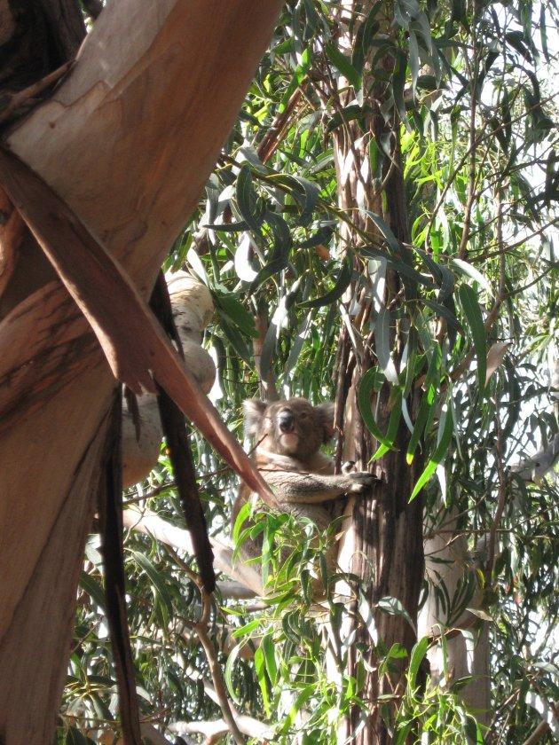 Hanson Bay Koala Cancutary