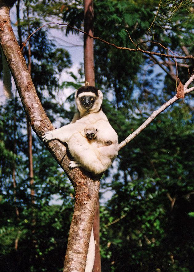 Spot Sifaka's in Madagaskar
