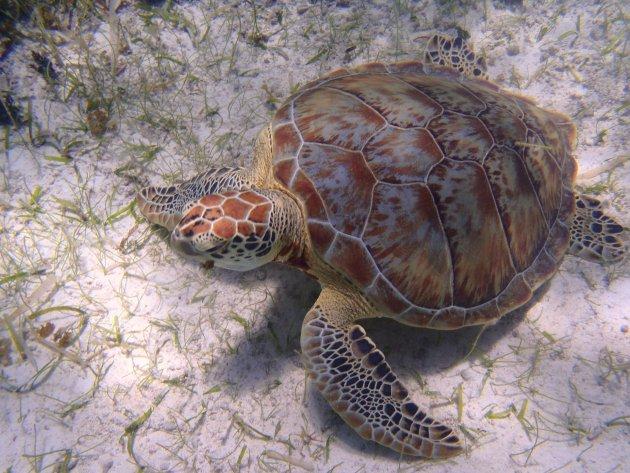 Sea turtle submerged