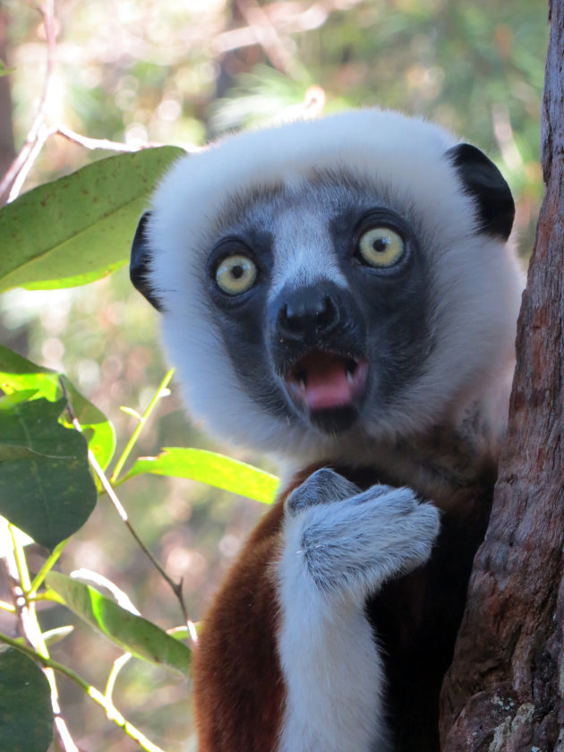 Coquerel Sifaka in Madagaskar