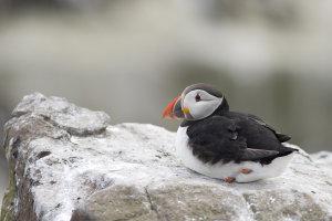 Bezoek Farne Island voor de Papegaaiduiker