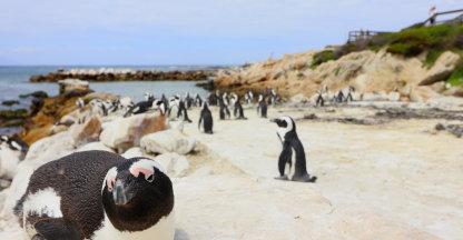 Pinguins kijken in Betty's Bay