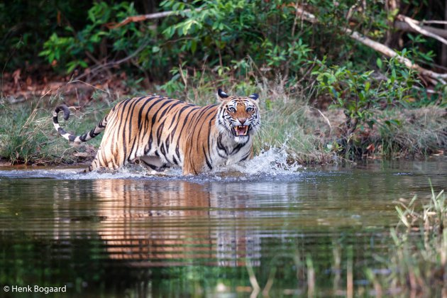Tijger grommend in het water in Bandhavgarh National Park in India