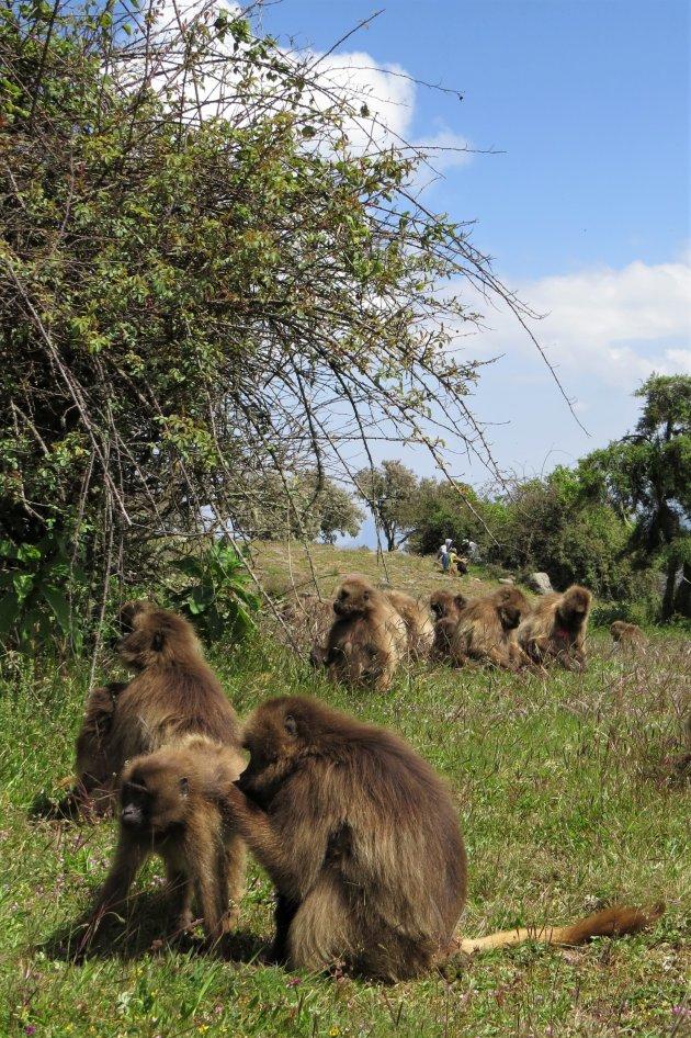 op bezoek bij de galada bavianen