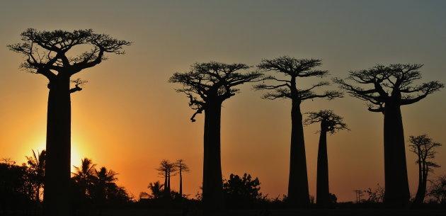 Baobablaan