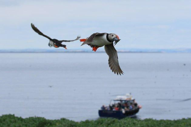 Puffins op Staple Island