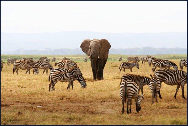 olifant en zebra's