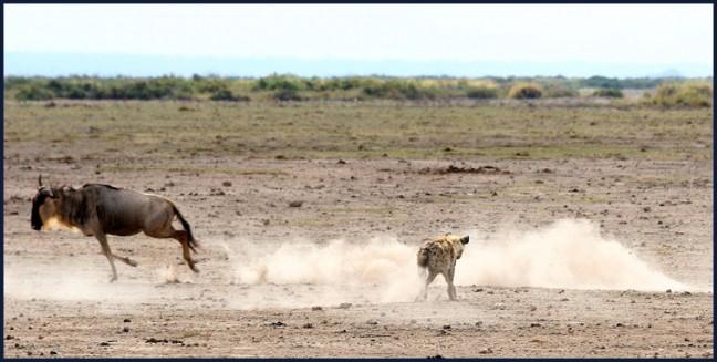 PANORAMA! hyena op jacht