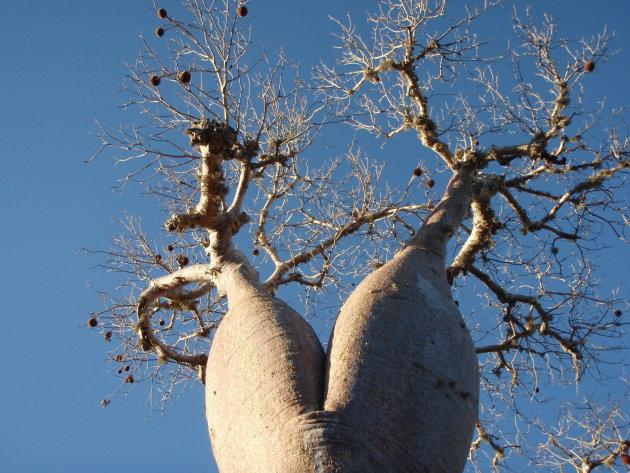 baobab amoureus