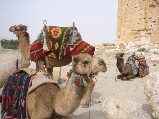 groep kamelen