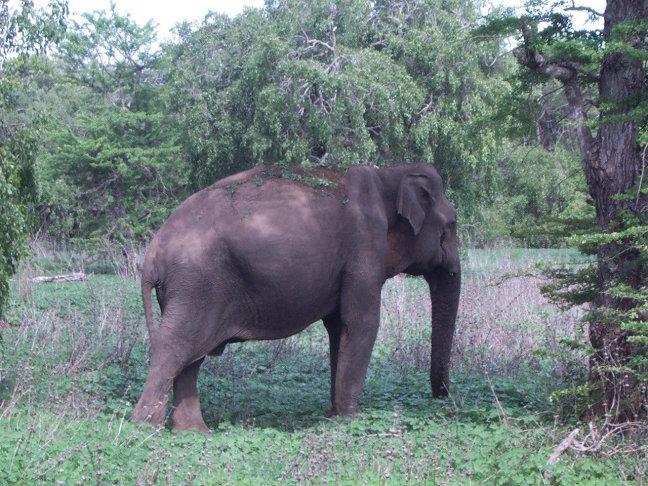 tóch nog een wilde olifant
