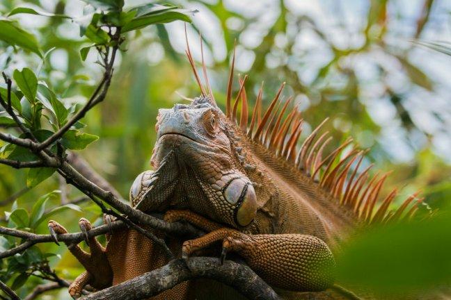 Costa Rica: land van de leguaan (en kikkers, slangen, vlinders, crocs)