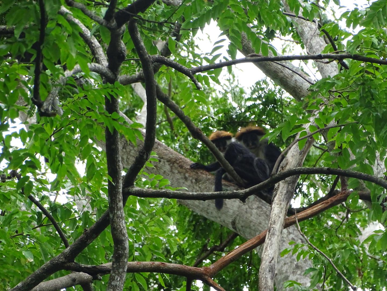 Hoog in de bomen zit dit stelletje Udzungwa Red Colobus aapjes naar ons te loeren.