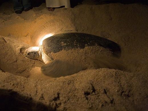 Schildpad in Sur