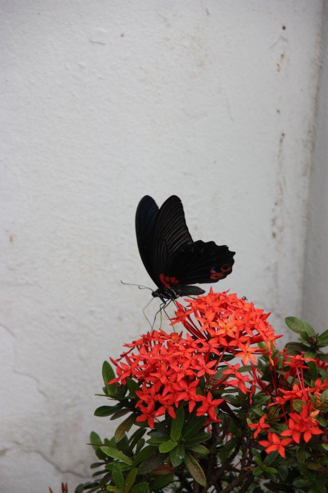 2008: Mae Sai: vlinder.