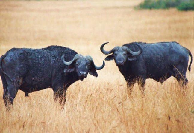 Buffels, Queens Elisabeth National Park