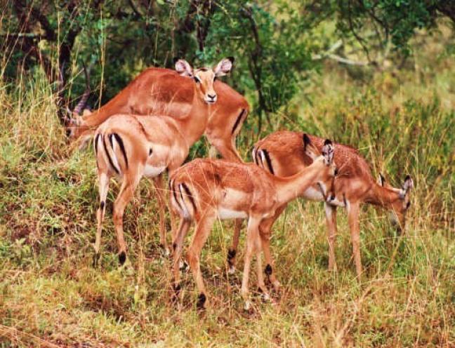 Impala's, Lake Mburo National Park