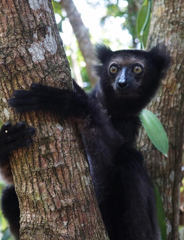 Zwarte Lemur