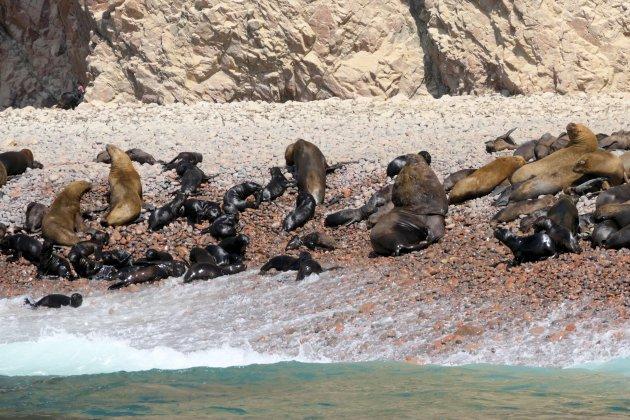 Patagonische zeeleeuw
