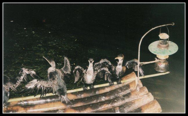 Vissende aalscholvers. Scan 2001.