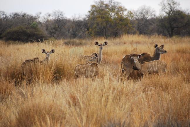 kudde kudu's