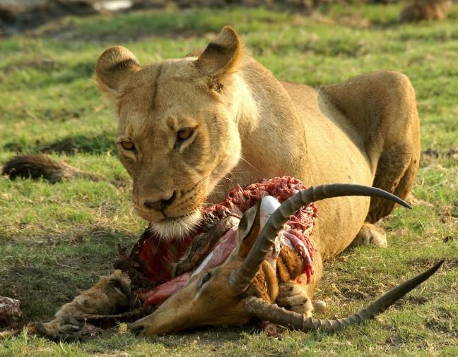 Leeuw eet impala