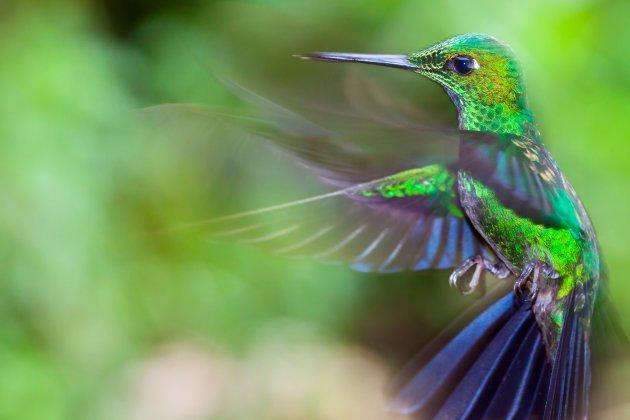 Kolibries spotten in Monteverde