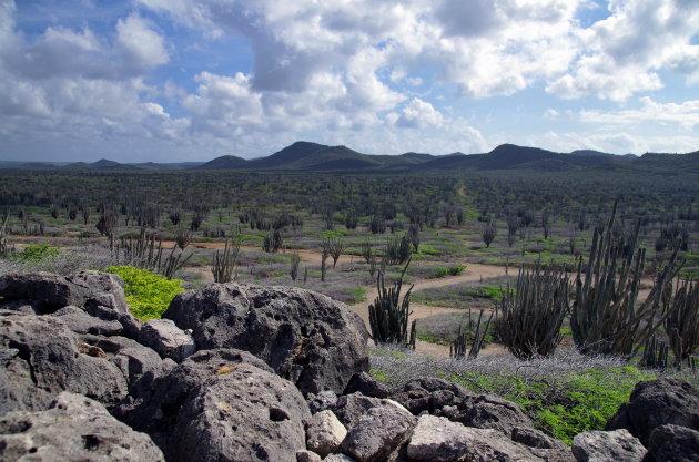 Cactuswoud op Bonaire