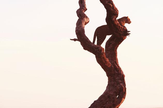 luipaard.   in de boom