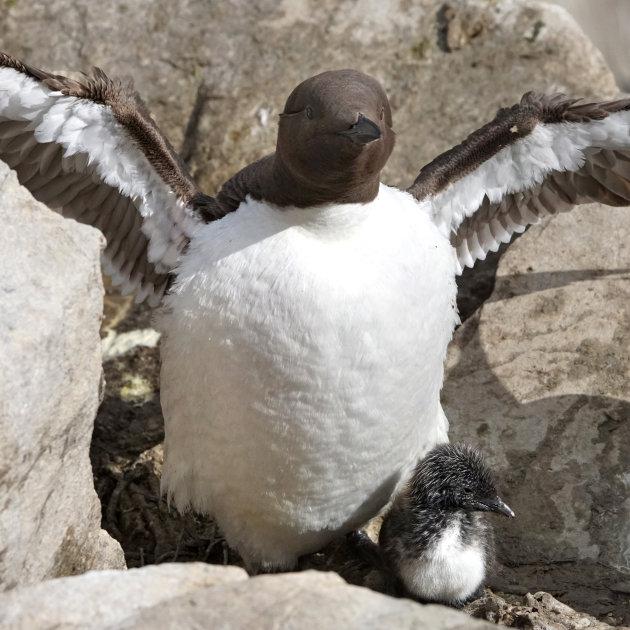 Overal vogels op de Farne eilanden