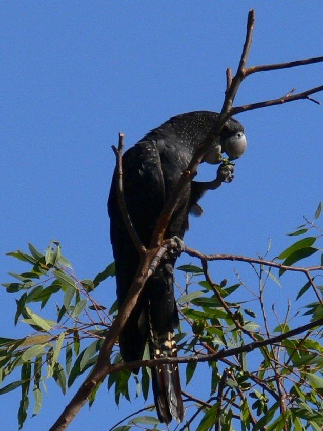 Zwarte Kaketoe
